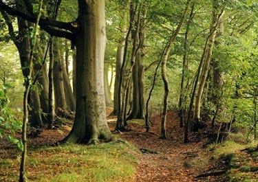 Wald mit Buchenbäumen