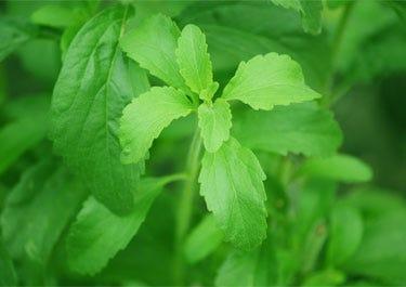 Blätter der Stevia Pflanze